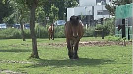 #Amis du Cheval à Strasbourg, un refuge ''paradis'' pour des animaux