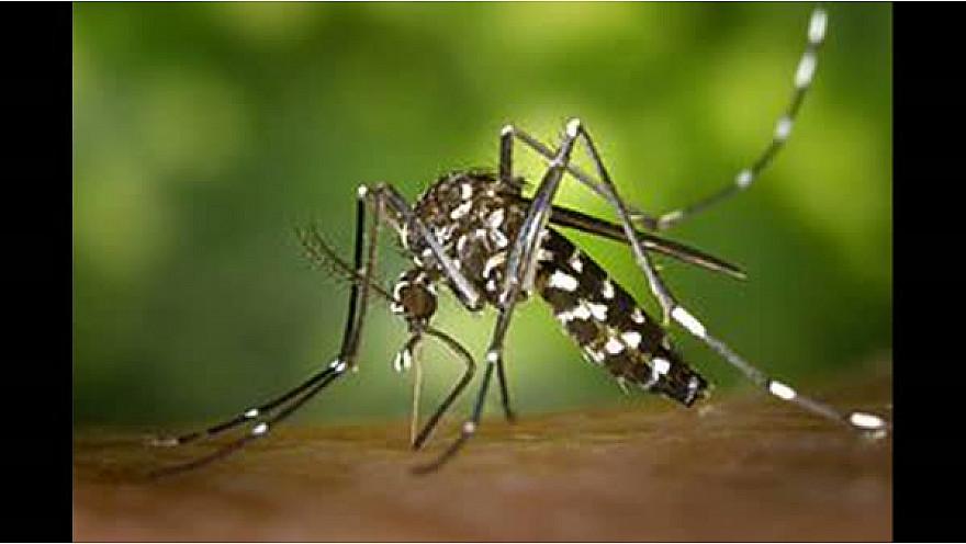 Combattre le moustique avec la gambusie !