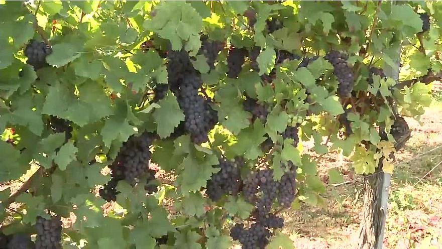 VIN D'ALSACE les 4 Saisons d'un Viticulteur : une vidéo réalisée par Bernard Pastusiak