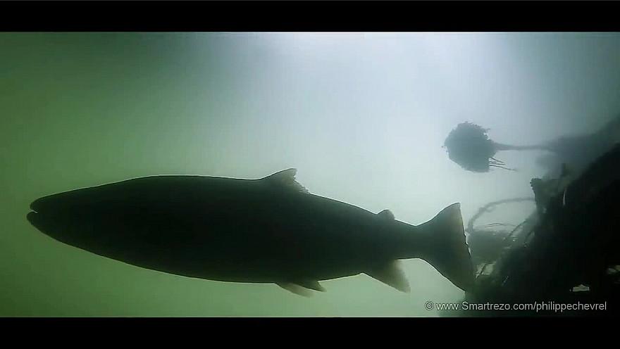 L'Approche...de la Pêche : TRM- Passion Migrateur avec Gaël Even. #TruiteDeMer #NoKill  #Pêche